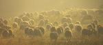 Gold furred Sheep